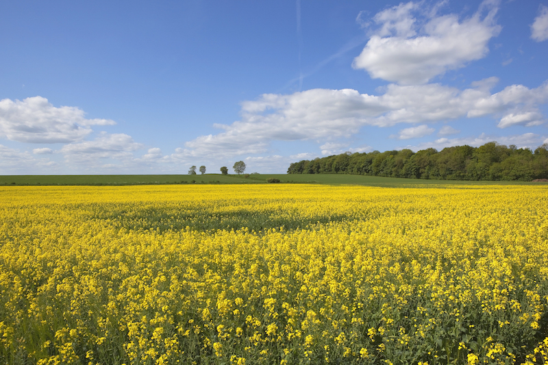 Oil seed rape fields Yorkshire Wolds