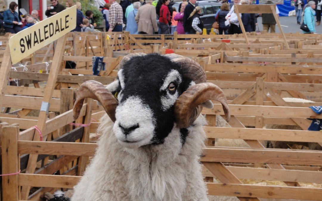 Woolly Facts – in praise of the Swaledale Sheep