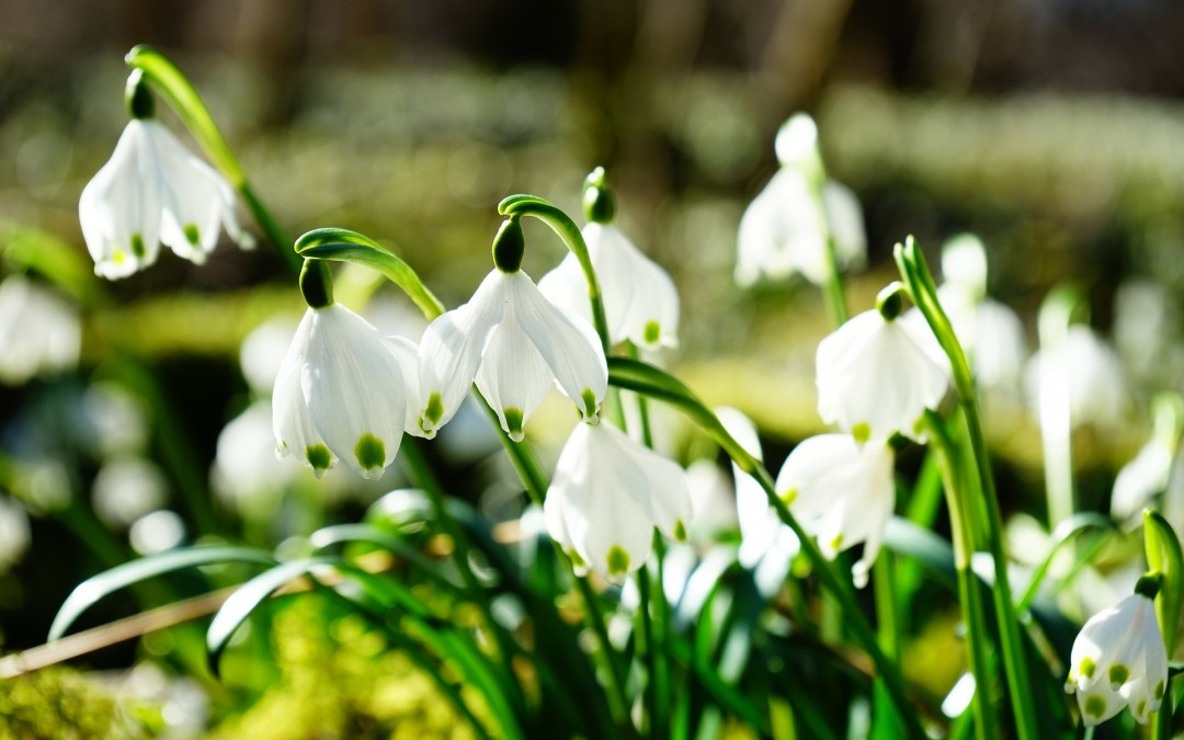 Yorkshire's Spectacular Snowdrops