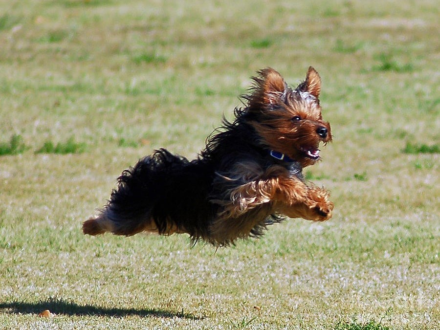 Yorkshire Icons – The Yorkshire Terrier